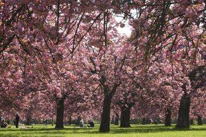 Cerisiers-en-fleurs_Domaine-de-Sceaux